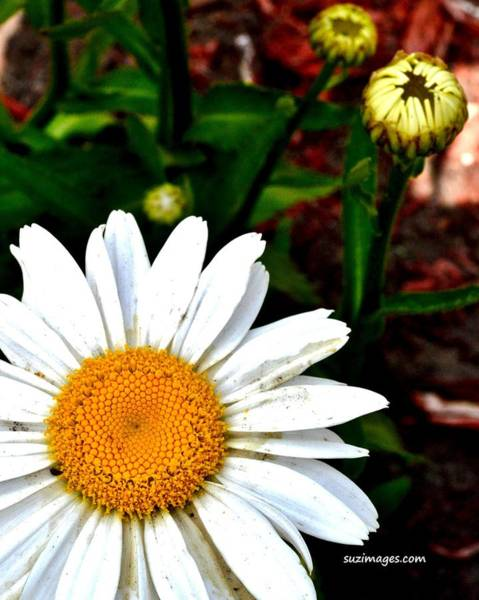 Photograph - Sunny Side Up by Susie Loechler