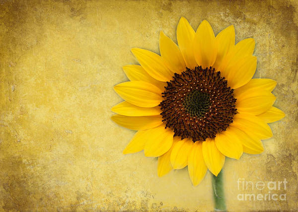 Photograph - Sunny Sunflower by Sabrina L Ryan
