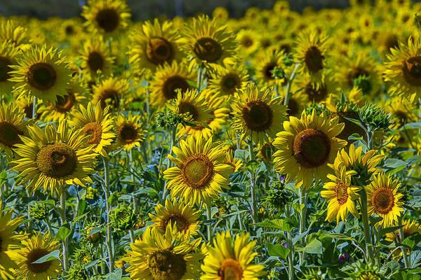 Wall Art - Photograph - Sunny Sunflowers by Garry Gay