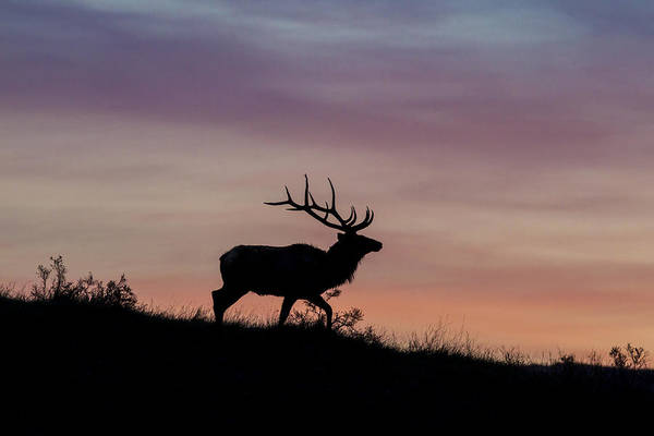 Photograph - Sunrise Bull by D Robert Franz