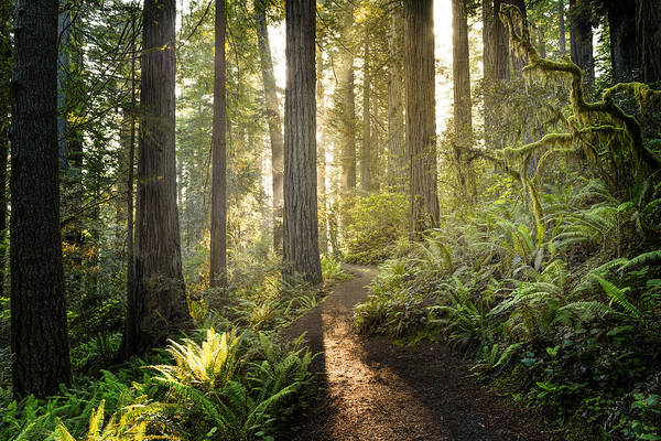 Sunrise In The Redwoods Art Print by HadelProductions
