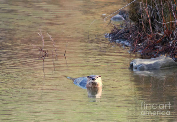 North American Wildlife Photograph - Sunrise Otter by Mike Dawson