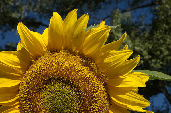 Sunflower Seeds Photograph - Sunrise Sunflower by Jerry McElroy