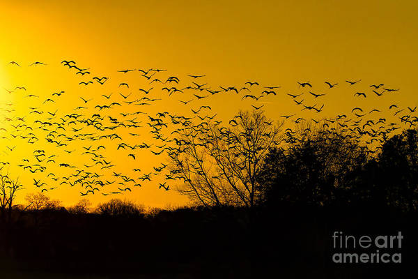 Photograph - Sunset And Sandhill Cranes by Barbara Bowen