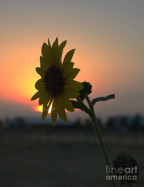 Photograph - Sunset And Sunflower by Mae Wertz