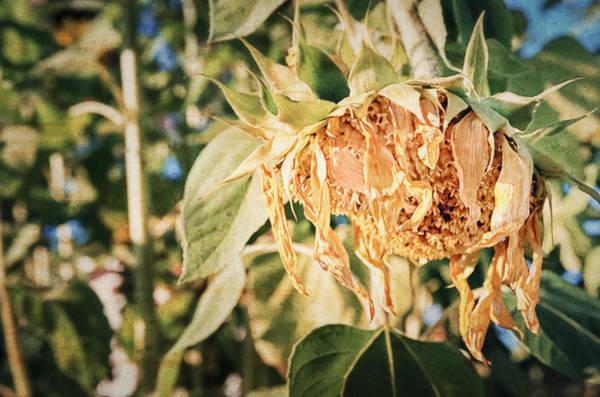 Sunflower Seeds Photograph - Sunset by Caitlyn  Grasso