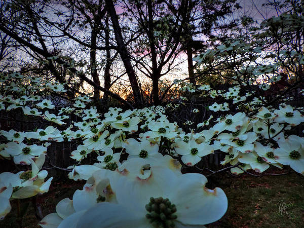 Photograph - Sunset Dogwood 001 by Lance Vaughn