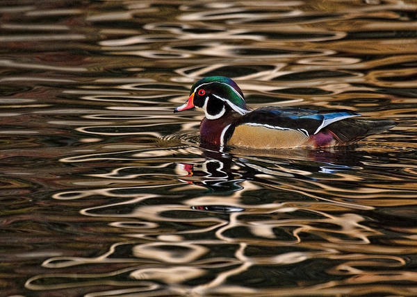 Photograph - Sunset Duck by Wes and Dotty Weber