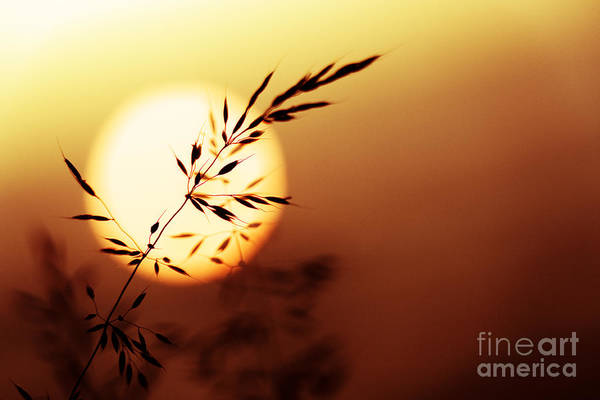 Seed Head Wall Art - Photograph - Sunset Grass by Tim Gainey