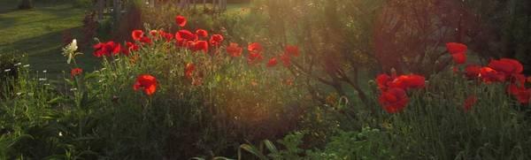 Sunset In The Poppy Garden Art Print