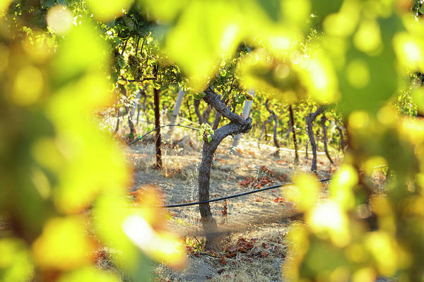 Woodside Photograph - Sunset Light Shining Through Grape by Clay McLachlan