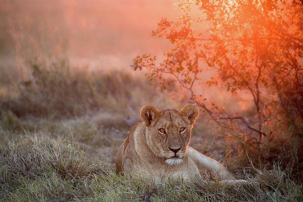 Wild Grass Photograph - Sunset Lioness by Alessandro Catta