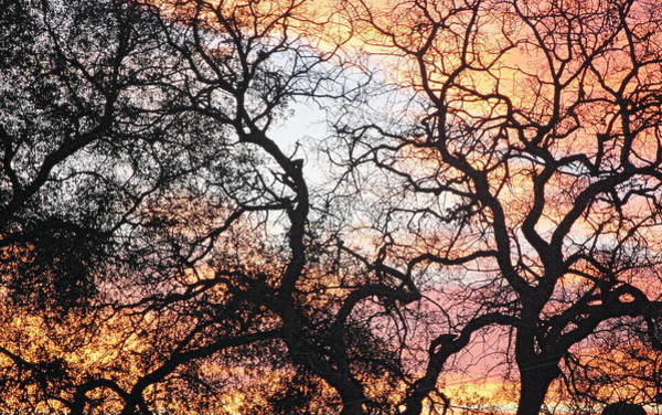 Photograph - Sunset Lit Tree by AJ  Schibig