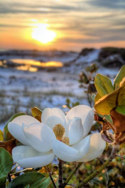 Pensacola Photograph - Sunset Magnolia by JC Findley
