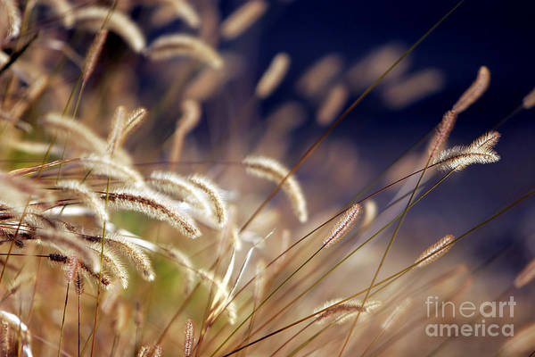 Photograph - Sunset On Autumn Grass by Lincoln Rogers