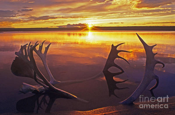 Photograph - Sunset On Caribou Antlers In Whitefish Lake by Dave Welling