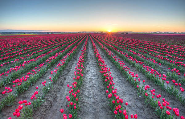 Photograph - Sunset On The Tulips by Pierre Leclerc Photography