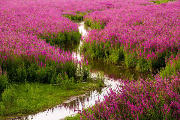 Wall Art - Photograph - Sunset Over Purple Loosestrife by Kunal Mehra