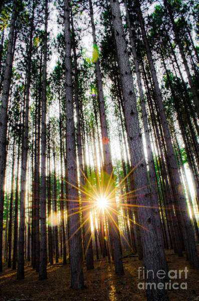 Photograph - Sunset Pines by Michael Arend
