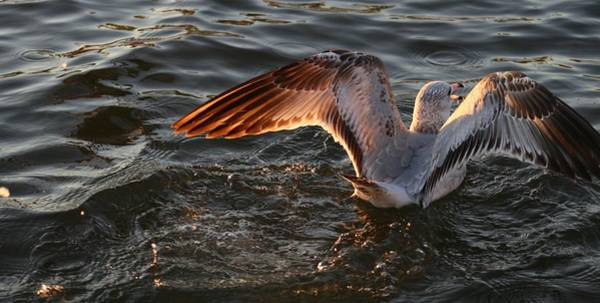 Wall Art - Photograph - Sunset Sea Gull by Valia Bradshaw