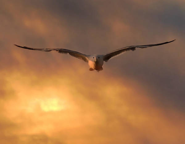 Photograph - Sunset Seagull by Robert Mitchell