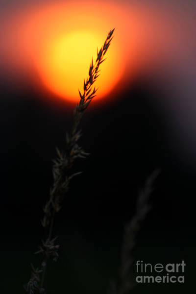 Photograph - Sunset Seed Silhouette by Jeremy Hayden