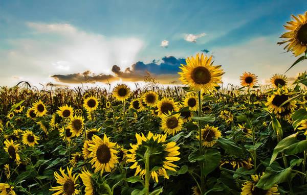 Photograph - Sunset Sunflowers by Robert FERD Frank