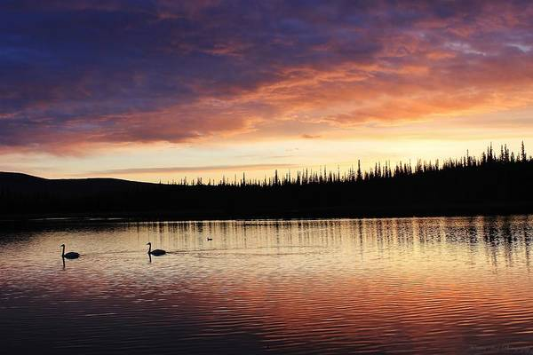 University Of Alaska Photograph - Sunset Swans by David Broome