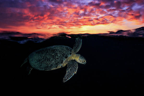 Wall Art - Photograph - Sunset Turtle by Barathieu Gabriel
