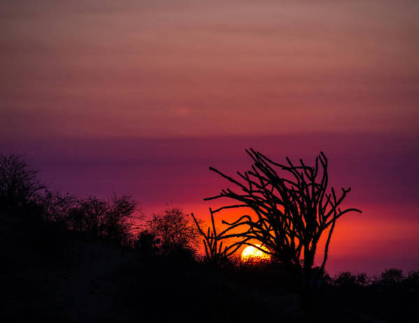 Photograph - Sunset With Octopus Tree by Alex Lapidus
