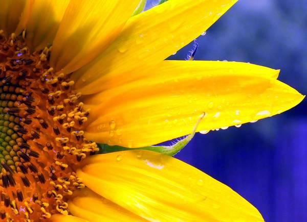 Sunflower Seeds Photograph - Sunshine Blue by Karen Wiles