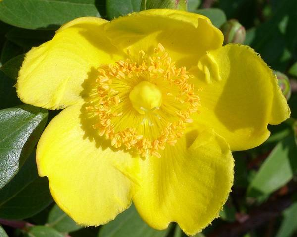 Photograph - Sunshine by Cleaster Cotton