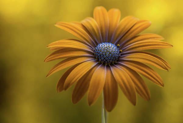 Yellow Flower Photograph - Sunshine Daisy by Mandy Disher