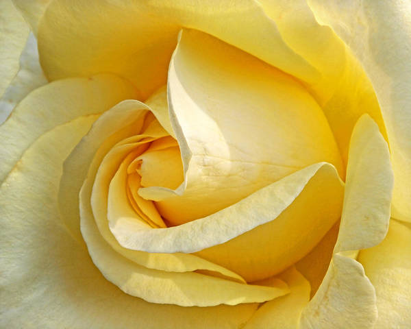 Photograph - Sunshine Rose by Gill Billington