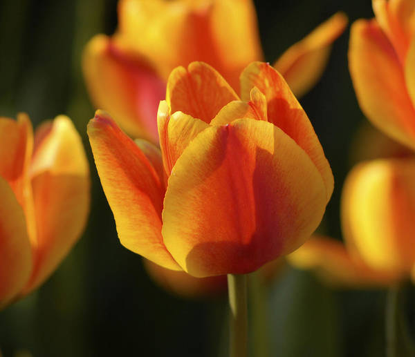 Photograph - Sunshine Tulips by Nancy De Flon