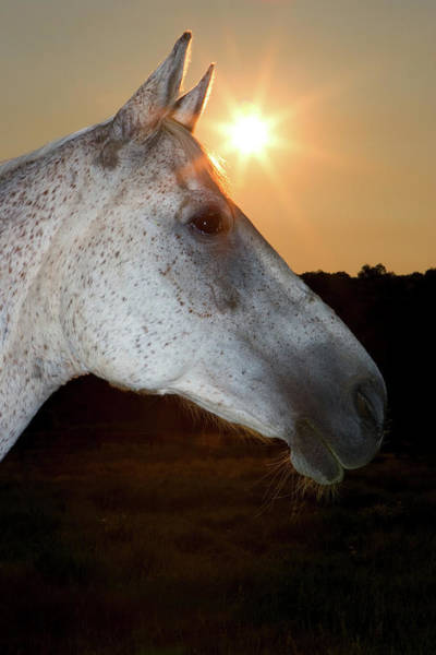 Wall Art - Photograph - Sunstar Behind Horse by Animal Images