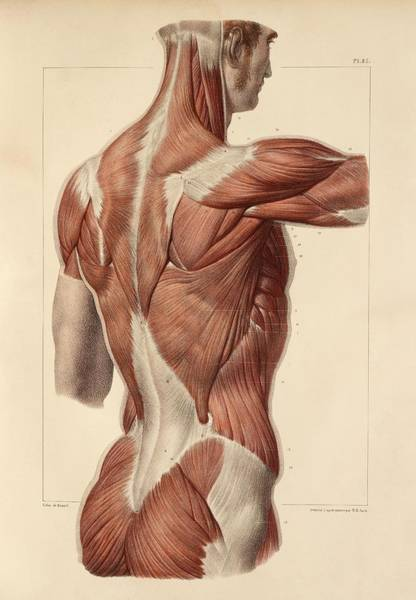 Wall Art - Photograph - Superficial Back Muscles, 1831 Artwork by Science Photo Library