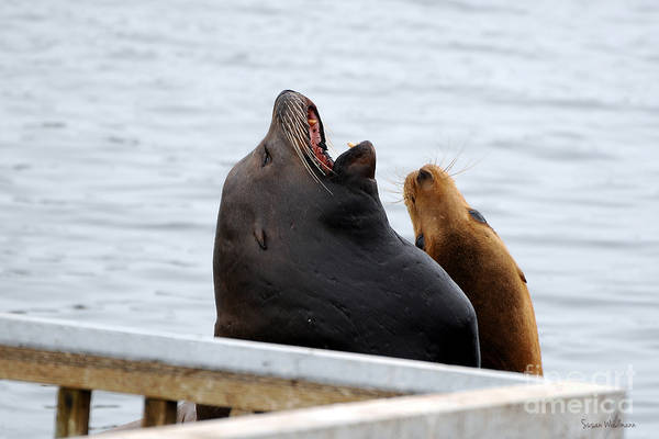 Photograph - Supersized Sea Lion And Friend by Susan Wiedmann