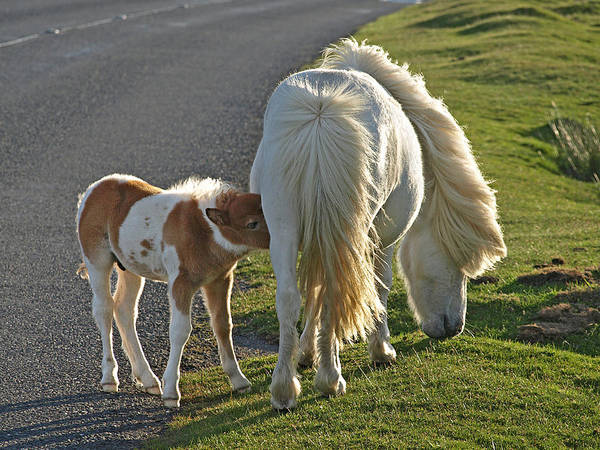 Mare And Foal Photograph - Supper Time For Dartmoor Ponies by Gill Billington