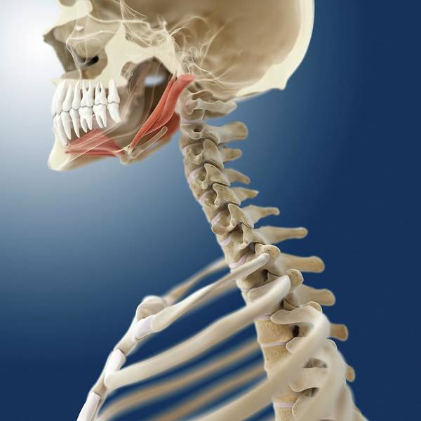 Skeletal Muscle Photograph - Suprahyoid Muscles by Springer Medizin/science Photo Library