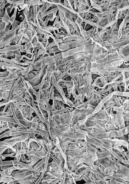 Tissue Paper Photograph - Surface Of Soft Tissue Paper by Dr Jeremy Burgess/science Photo Library