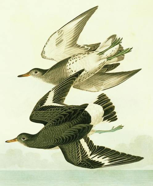 Aquatint Photograph - Surfbird by Natural History Museum, London/science Photo Library
