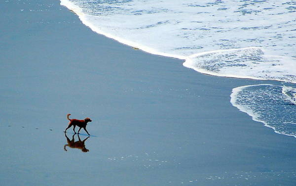 Photograph - Surfer Dog by AJ  Schibig