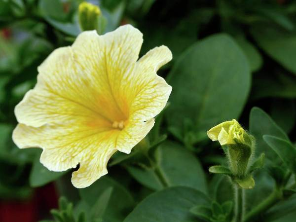 Petunias Photograph - Surfinia 'victorian Yellow' by Ian Gowland/science Photo Library