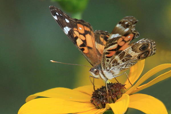 Photograph - Susan Painted Lady by Reid Callaway