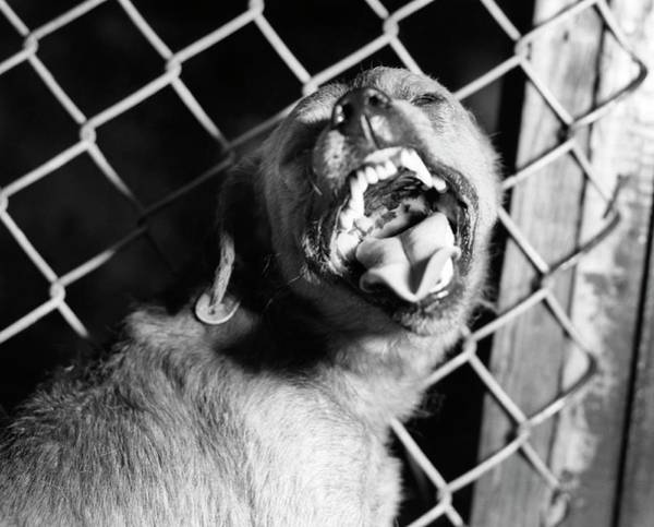 Growling Wall Art - Photograph - Suspected Rabid Dog Barking by Cdc/science Photo Library