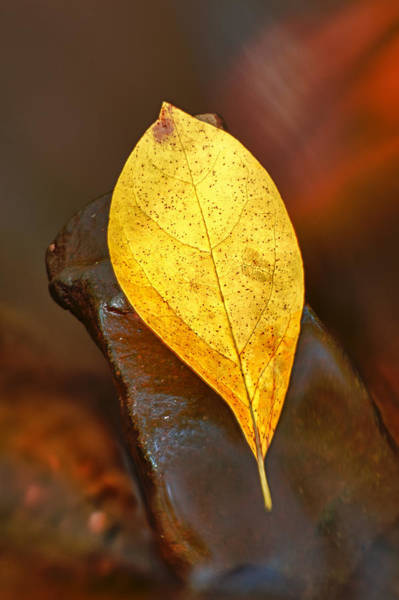 Photograph - Suspended Autumn Leaf by Gary Slawsky