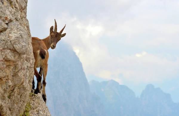 Mountain Goat Wall Art - Photograph - Suspense by Stefano Zocca