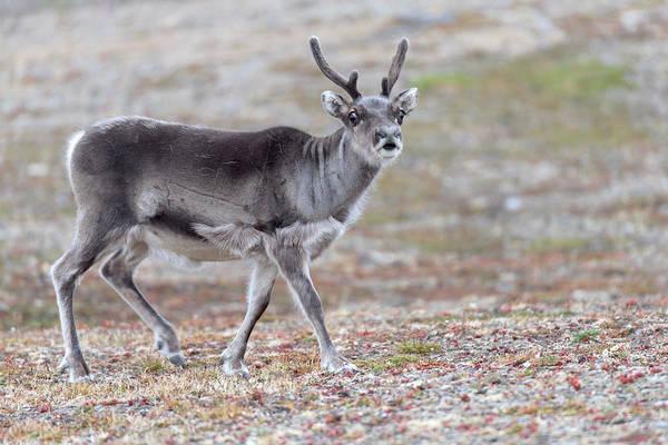 Ruminant Photograph - Svalbard Reindeer by Dr P. Marazzi
