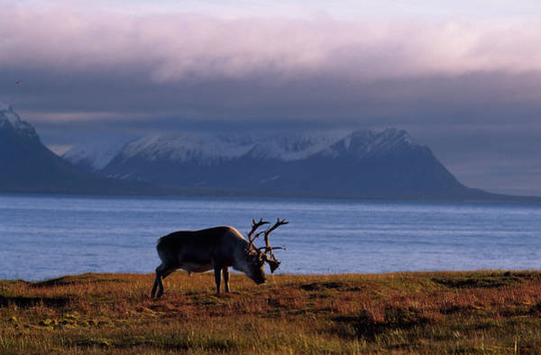 Wall Art - Photograph - Svalbard Reindeer Grazing Near The Sea by Norbert Rosing